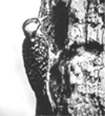 Photo: Woodpecker on tree